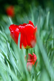 Free Red Tulip In Grass Stock Photography - 2454742