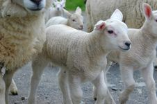 Free Lambs On The Move Stock Photo - 2455100