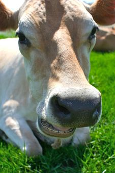Free Jersey Cow Lying In The Grass Stock Photography - 2455132