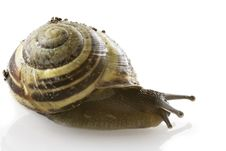 Free Spiraled Snail Stock Photography - 2455632