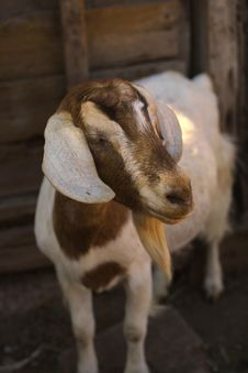 Free Goat Royalty Free Stock Images - 2456349