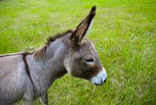 Free Donkey Head Royalty Free Stock Photo - 2456715