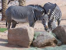 Zebras At Feeding Rack Stock Images