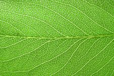Free Fresh Pear Tree Leaf Royalty Free Stock Image - 2457796