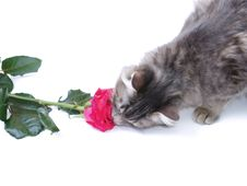 Free Kitten And Rose Stock Photography - 2458262