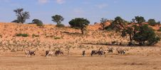 Free Gemsbok Herd Royalty Free Stock Photos - 2459238