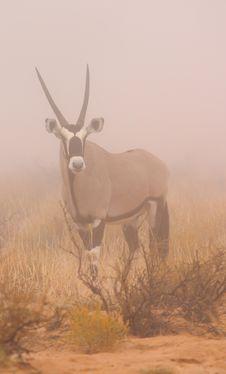 Free Gemsbok In Mist Royalty Free Stock Image - 2459256