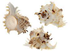 Spiral Shellы On White Stock Image
