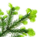 Free Branch Of Fir On White Royalty Free Stock Image - 2459596