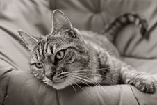 Free Tabby In Black And White Royalty Free Stock Photo - 2459785