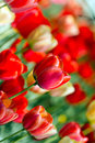 Free Tulips In The Garden Stock Photos - 24500483