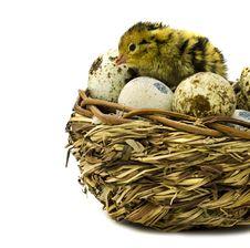 Free Nestling Quail Stock Photography - 24502272