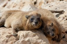 Free Cape Hyrax &x28;Procavia Capensis&x29; Stock Photography - 24502552