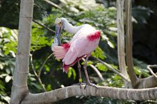 Free Roseate Spoonbill Royalty Free Stock Photography - 24503737