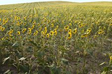 Free Sunflower Field Royalty Free Stock Images - 24504349