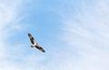 Free Osprey Royalty Free Stock Images - 24514179