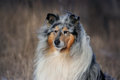 Free Collie Rough Royalty Free Stock Photo - 24517445