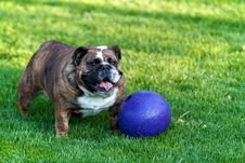 Free Bulldog In Grass With Purple Ball Stock Photos - 24510823