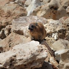 Free Cape Hyrax &x28;Procavia Capensis&x29; Royalty Free Stock Images - 24511039