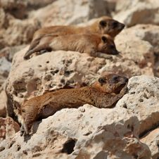 Free Cape Hyrax &x28;Procavia Capensis&x29; Royalty Free Stock Photos - 24511108