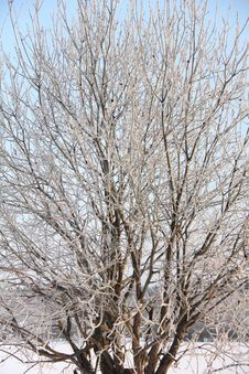 Free Tree In The Field. Frost. Royalty Free Stock Image - 24512266