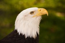Free Bald Eagle Stock Photography - 24513442