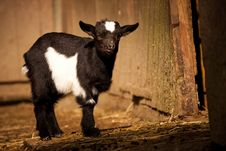 Free Baby Goat Stock Photos - 24513453