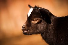 Free Baby Goat Portrait Royalty Free Stock Photo - 24513465