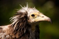 Free VULTURE Stock Photos - 24513473