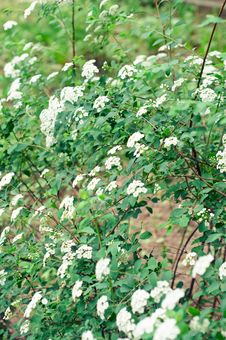Free Blooming Shrub Of Spiraea Vanhouttei Stock Image - 24513701