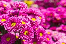 Colorful Pink Chrysanthemum Royalty Free Stock Photography