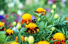 Free Bee Sitting On Flower Stock Photography - 24514152