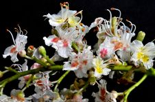 Free Flowers Of Horse Chestnut Stock Images - 24514474
