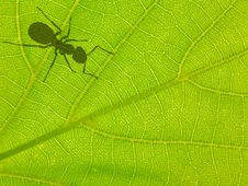 Free Green Leaf With Ant Shadow Stock Photography - 24515372