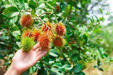Free Rambutan Fruit Stock Photography - 24517972