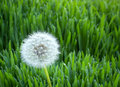 Free Dandelion And Wheat Royalty Free Stock Photography - 24524477