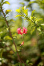 Free Hibiscus Hybrid 2 Stock Photography - 24525162