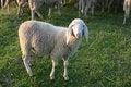 Free Lamb Royalty Free Stock Image - 24526576