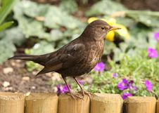 Free Blackbird Stock Photos - 24520183