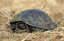 Free Turtle In The Dry Grass Stock Photos - 24520913