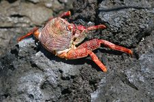 Wildlife With A Colourful Crab At Volcanic Rocks, La Palma, Spain Royalty Free Stock Photos
