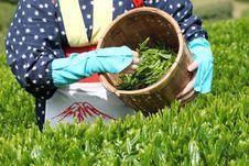 Free Woman Harvesting Tea Leaves Stock Photo - 24524690