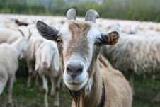 Free Goat Royalty Free Stock Photo - 24526645