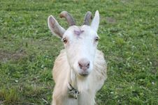 Free Goat Royalty Free Stock Photography - 24526927
