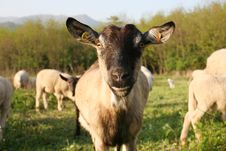 Free Goat Royalty Free Stock Photo - 24527365