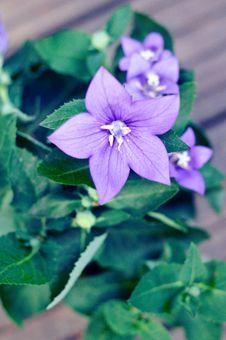 Free Campanula Persicifolia- Close-up Royalty Free Stock Photography - 24527447