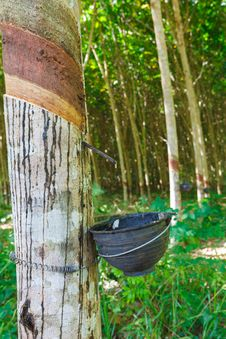 Free Rubber Tree Royalty Free Stock Images - 24528579