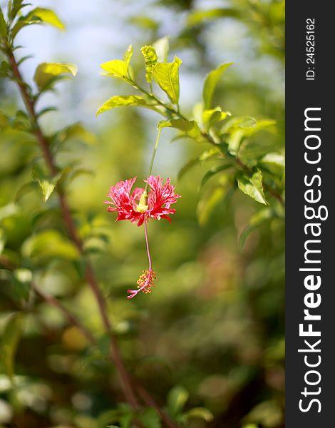 Hibiscus hybrid 2