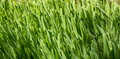 Free Green Wheat Covered With Dew Stock Photos - 24538953