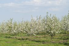 Young Blossoming Apple Trees Stock Photos